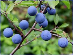 Schlehe (sloe) picked after the first frost my mom would make jelly and juice....soo good