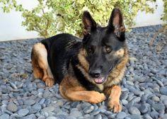German Shepherd Dog dog for Adoption in San Diego, CA. ADN-409273 on PuppyFinder.com Gender: Male. Age: Adult