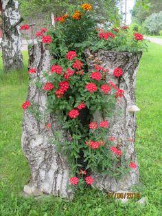 Verbenat kukkii kannossa