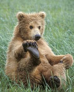 playful grizzly bear