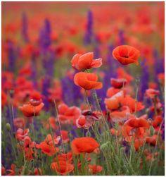 Red Poppy &  Purple Sage   by Kate Yasnaya