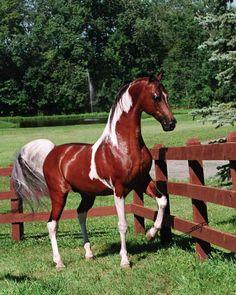 Color of Fame... an INCREDIBLE pinto Saddlebred/Arabian stallion.