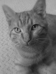 Garfield, Europäisch Kurzhaar #Katze #cat #widPet