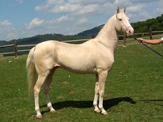 Akhal-Teke Horse Breed | ... class elite champion of breed equiros 2001 reserve champion of breed