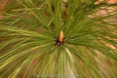 Close up of a pine tree