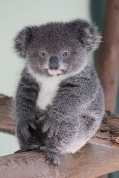 What animal species have the cutest babies? Cute Wild Animals, Cute Little Animals, Cute Funny Animals, Animals Beautiful, Animals And Pets, Beautiful Babies, Cute Koala Bear, Baby Koala, Koala Bears