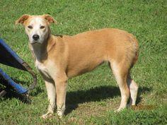 URGENT! Lady * Dog • Labrador Retriever & Terrier Mix • Adult • Female • Large Tullahoma Animal Shelter Tullahoma, TN