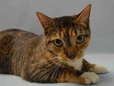 """TIGGY - A1041794 - - Brooklyn  ***TO BE DESTROYED 07/06/15***TORBIE KITTEN CHARMER, DUMPED FOR """"ALLERGIES"""", IS PERFECTLY HEALTHY, WITH A GREAT BEHAVIOR RATING, BUT THE ACC WILL KILL HER ANYWAY – PLEASE GRANT TIGGY A DEATH ROW PARDON!!! Adorable torbie kitten TIGGY, just 13 months old, finds herself BETRAYED by her old owners, who stuffed this dear kitten into the ACC's Death Camp for Kitties due to ALLERGIES. At home, Tiggy was PURRfect: """"Tiggy"""