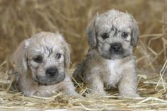 Dandie Dinmont Terriers New Puppy, Puppy Love, All Dogs, Dogs And Puppies, Dandie Dinmont Terrier, Dog Books, Dog Rules, Happy Dogs, Otters