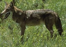 Picture of Coyote (Canis latrans), side view