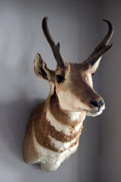 Antelope Taxidermy