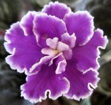 African violet plant LEAF leaves cutting LYON'S SHOCK WAVE