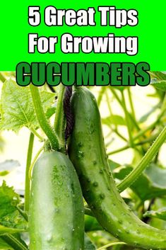 Growing Cucumbers – How To Grow Your Biggest and Best Crop Ever!