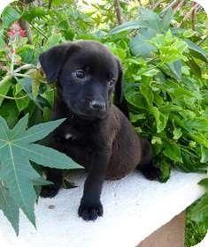 Orange, CA - Labrador Retriever. Meet Belle a Puppy for Adoption.