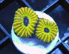 Mayan Sun Favia – Frag Junky Corals www.FragJunky.com  www.facebook.com/FragJunkyCorals