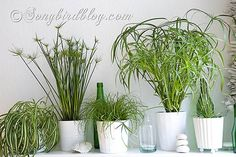 HOUSEPLANTS :: Lovely Indoor Plants For Dummies :: These grasses are: Easy, Hardy, Resistant, Low Maintenance, Beautiful, Rich in Flair and Oomph Factor, Did I say Easy? | #asongbirdblog #houseplants