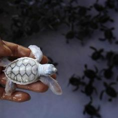 Creations and in God's creations for this one. Albino turtle