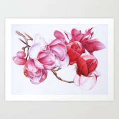"""eiruvsq: """"Artist: Heidi Willis """"Magnolia Botanical"""" Watercolour 28 cm x 38 cm Available """"""""Good morning all, I forgot to add this painting to my Artworks album so thought id just pop it in here this. Good Morning All, Botanical Art, Tulips, Backyard, Tapestry, Watercolor, Fine Art, Texture, Art Prints"""