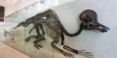 Corythosaurus is a member of the group of duck-billed dinosaurs called hadrosaurs, which walked and ran on their two hind legs. The species' strange skull is capped by a crescent-shaped helmet that contains extended tubes, which formed elaborate nasal passages. Collected in 1912 in Alberta, Canada, this Corythosaurus is among the finest dinosaur specimens ever found.