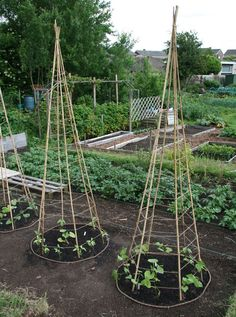 6 Bamboo or Branch Tomato Cages Projects & Videos. Now that's a pretty veggie garden. Veg Garden, Garden Trellis, Edible Garden, Bean Trellis, Vegetable Gardening, Pole Beans Trellis, Tomato Trellis, Bamboo Trellis, Diy Trellis
