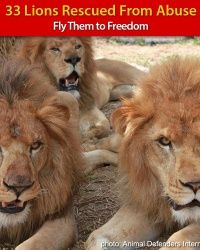 Help Fly 33 Rescued Lions to Freedom!  With just a click! Read more at http://greatergood.com/project/#JKFZFm6zhTWHegqJ.99