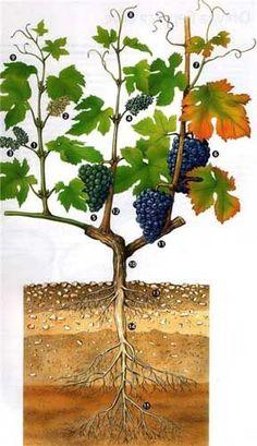 Fruit garden landscape tips 40 ideas Espalier Fruit Trees, Trees To Plant, Fruit Garden, Garden Plants, Beautiful Home Gardens, Vegetable Garden Tips, Vides, Plants Are Friends, Fruit Painting