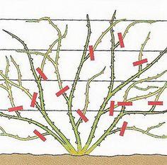 Jak przycinać róże wiosną? Szybki sposób na opanowanie zasad cięcia. Geraniums, Flora, Hair Accessories, Outdoor, Garden, Pictures, Balcony, Outdoors, Plants