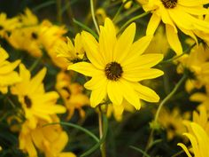 Yellow Flower - free download on MMT