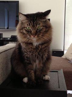 Streaky Cat | Pawshake Singapore