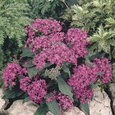Penta* Annual flowers for attracting a butterflies & hummingbirds to your beds & containers.Clusters of tubular flowers covering the plants all summer.Sun lovers that shrug off summer heat & grow well in both northern & southern climates.