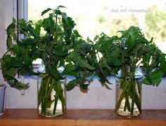 Oak Hill Homestead: How to Take Tomato Cuttings-- She roots cuttings in the fall and keeps them going all winter, then replants in spring.