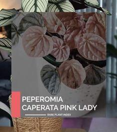Peperomia Rare Plants, Pink Ladies