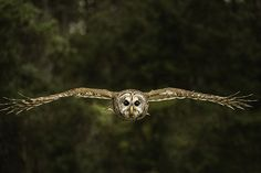 "A Barred Owl makes its way straight for me!  ""Birds Eye View"" © by Christy Cox Photography - the beauty of nature"