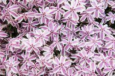 Phlox Subulata 'Candy Stripe', Phlox 'Candy Stripe', Alpine Phlox 'Candy Stripe', Moss Phlox 'Candy Stripe', Creeping phlox 'Candy Stripe', Pink Phlox, Alpine Phlox 'Candy Stripe', Moss Phlox 'Candy Stripe', Creeping Phlox 'Candy Stripe', Alpine P