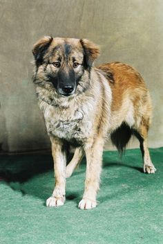 Aidi / Atlas Mountain Dog / Aïdi / Atlas Shepherd Dog / Chien de l'Atlas / Chien…