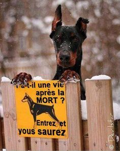 Funny Memes – [Is There Life After Death? Memes Humor, Dog Memes, Funny Dog Signs, Funny Dogs, Funny Animal Images, Funny Animals, Stupid Funny Memes, Hilarious, Doberman Dogs