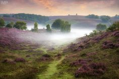 ***Heather in bloom (Veluwe, Netherlands) by Martin Podt on 500px
