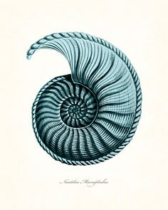 Coastal Decor Teal Blue Nautilus Shell Series by BelleMerGraphics