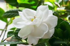 Gardenias are admired for their glossy green foliage and fragrant blossoms. However, gardenias are particular about their growing conditions and require . Gardenias, Diy Garden, Garden Landscaping, Green Garden, Indoor Garden, Landscaping Ideas, Backyard Ideas, Gardenia Care, Gardenia Bush