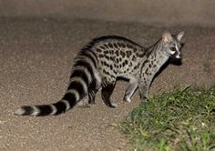 Genetta+genetta+_Common+_Small-spotted_+Genet__F5A5457+_c_+Andy+and+Gill+Swash+_WorldWildlifeImages_com_.jpg (1200×848)