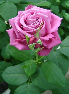 Hybrid Tea Rose: Rosa 'Claude Brasseur' (France, 2006)