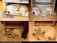 Golden Retriever Puppy Poppy