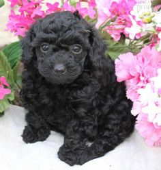 How cute is this toy poodle puppy?