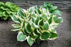 10 Best Perennials for Clay Soil 10 Best Perennials for Clay Soil – Garden Lovers Club Clay Soil Plants, Planting In Clay, Hosta Plants, Foliage Plants, Edible Plants, All Plants, Garden Plants, Planting Flowers, Shade Garden