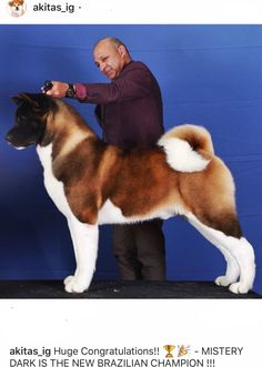 Amstaff Puppy, We Rate Dogs, American Akita, Hachiko, Anatolian Shepherd, Akita Dog, Get Up And Walk, Snow Dogs, Shih Tzu Puppy