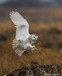 Snowy owl6 1000
