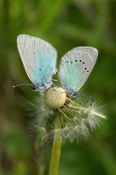 Alexis-Bläuling (Glaucopsyche alexis) Blue Bird, Butterflies, Dandelion, Sky, Flowers, Plants, Heaven, Dandelions, Heavens