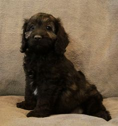 3 Available: Cockapoo Puppies, CAD $750.00