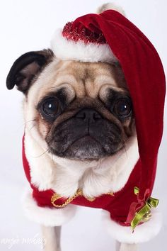 Christmas Pug! What a great picture!