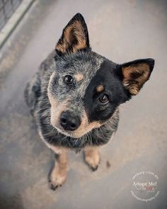 I met this little princess of the Cattle Dogs yesterday and was today . - I met this little princess of the Cattle Dogs yesterday and was not at all surprised to see that she was adopted today . Australian Cattle Dog, Aussie Cattle Dog, Australian Shepherd, Blue Heelers, Blue Heeler Dog, Cute Puppies, Cute Dogs, Animals And Pets, Cute Animals